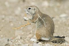 unstriped ground squirrel (xerus rutilus), etosha national park, namibia, afr - stock photo