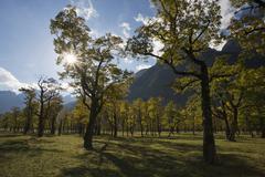 sycamore maples (acer pseudoplatanus) in backlight, eng, ahornboden region, k - stock photo