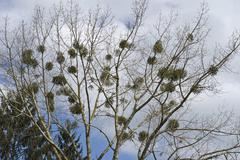 mistletoes (viscum) growing on a tree - stock photo