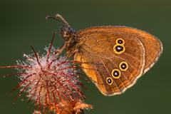 ringlet butterfly (aphantopus hyperantus) - stock photo