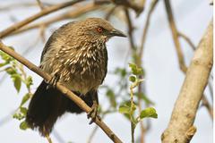 Arrow-marked babbler (turdoides jardineii), moremi nationalpark, moremi wildl Stock Photos