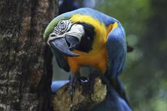blue-and-yellow macaw (ara ararauna), foz do iguazu, brazil - stock photo