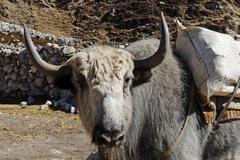 Yak, sagarmatha national park, khumbu himal, nepal Stock Photos