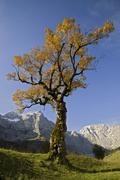 Sycamore maple (acer pseudoplatanus) tree, grosser ahornboden, karwendel rang Stock Photos