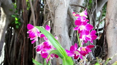 Beautiful Thai orchid flower in a botanical garden. Dolly shot close-up Stock Footage