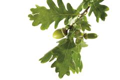 Oak leaves and acorns on a twig (quercus) Stock Photos