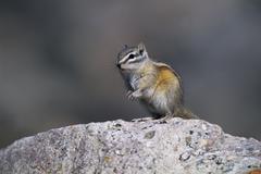 Least chipmunk (tamias minimus) alert adult, sitting on rock to survey surrou Stock Photos