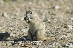 unstriped ground squirrel (xerus rutilus) feeding, etosha national park, nami - stock photo