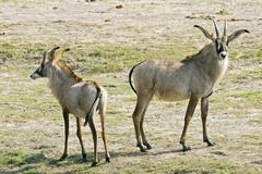 Two roan antelopes (hippotragus equinus), chobe national park, botswana, afri Stock Photos