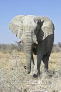 african bush elephant or savanna elephant (loxodonta africana), etosha nation - stock photo