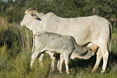 Stock Photo of calf suckling milk from its mother, namibia, africa