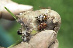 colorado potato beetle or ten-striped spearman (leptinotarsa decemlineata) - stock photo