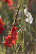 gladiolus or sword lily (gladiolus), iridaceae family, germany - stock photo