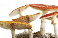 Stock Photo of fly agaric mushrooms (amanita muscaria var. muscaria)