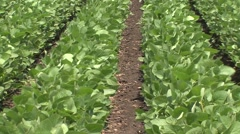 Soybean swaying Stock Footage