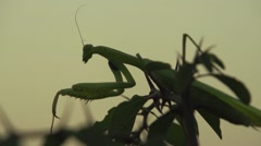 Praying mantis moves on a prickly bush Stock Footage