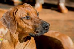 Rhodesian dog Stock Photos