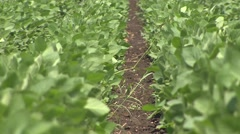 Lines of soybeans Stock Footage