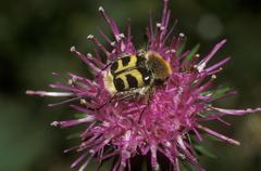 Bee beetle (trichius fasciatus), germany, europe Stock Photos