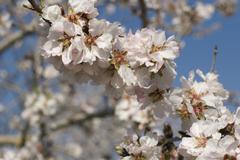 Blossoming almond tree (prunus dulcis, prunus amygdalus) near binissalem, maj Stock Photos