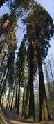 130-year-old sequoia trees (sequoioideae), at 55 metres some of the tallest t Stock Photos