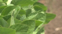 Soybean leaves Stock Footage