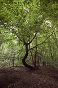 Crooked tree in a forest, mecklenburg-western pomerania, germany, europe Stock Photos