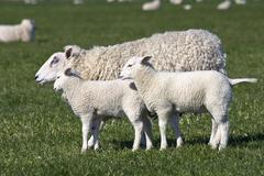 Domestic sheep (ovis aries) with two lambs on a pasture Stock Photos