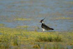 Northern lapwing (vanellus vanellus) standing at the water\'s edge, warmsee ( Stock Photos