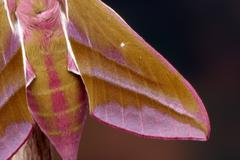 closeup of an elephant hawk-moth (deilephila elpenor), north tirol, austria - stock photo