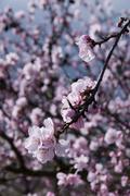 flowering almond tree (prunus dulcis, prunus amygdalus) - stock photo