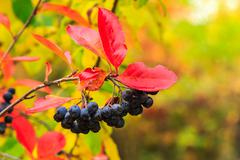 Black rowan berries with red leaves in autumn Stock Photos