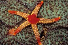 sea star (fromia monilis), indian ocean - stock photo
