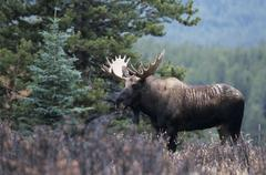 Moose (alces alces), bull, standing on clearing. Stock Photos