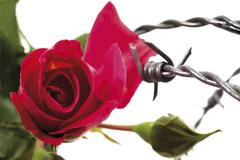 Love hurts: red rose stuck in a barbed wire fence Stock Photos