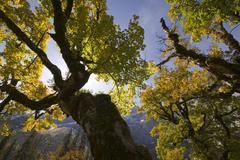Stock Photo of sycamore maple (acer pseudoplatanus) trees, kleiner ahornboden, karwendel ran