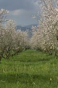 blossoming almond trees (prunus dulcis, prunus amygdalus) near binissalem, ma - stock photo