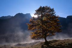 Stock Photo of sycamore maple (acer pseudoplatanus) tree, grosser ahornboden, karwendel rang