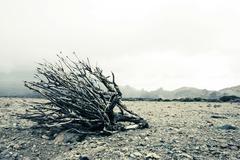 Dense wood branch on vulcanic earth close to teide on teneriffe spain Stock Photos