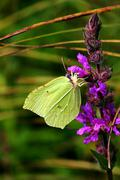 Stock Photo of male brimstone butterfly gonepteryx rhamni sitting at red violett blossoms