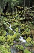 Small stream running through moss pads in the temperate rainforest, mount rai Stock Photos