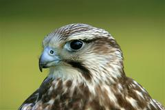 Portrait of a young saker falcon falco cherrug with specific blue bill base,  Stock Photos
