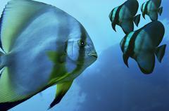 middle east egypt red sea, pinnate batfish, platax pinnatus digital composite - stock photo