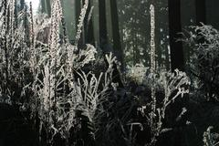 shrubs in hoar-frost with winter forest in background - stock photo