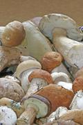 Stock Photo of fresh collected mushrooms (boletus edulis, boletus testaceoscaber)