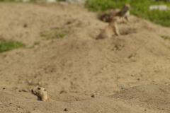 in the house nature and environment in the wuhlheide are bred prairie dogs. p - stock photo