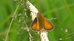 Small Skipper Butterfly Stock Footage