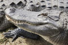 Head of an alligator Stock Photos