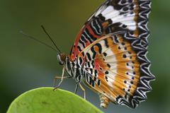 Stock Photo of tropical butterfly (cethosia cyane) in the botanic garden, augsburg, germany