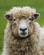 new zealand ewe sheep - stock photo